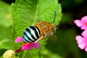 Native blue banded bees provide buzz-pollination